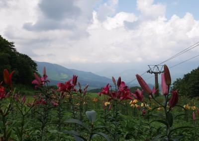 Wild lily mountain Iwatake
