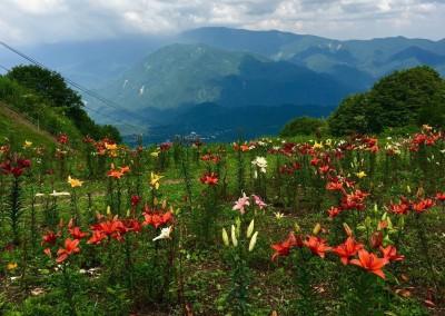 Iwatake wild Lily mountain